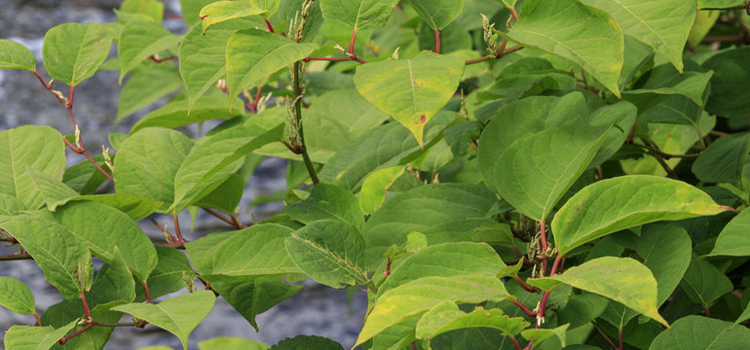 Japanese knotweed UK